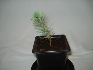 Turkish Pine Seedling Pinus Brutia Christmas tree future bonsai decorative