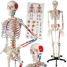Menschliches Skelett Anatomie Modell Lehrmodell + Stativ Mensch + Bemalung NEU