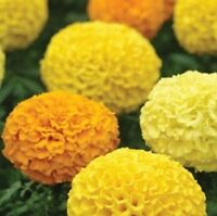 Marigold African - Marvel Mixed - 20 Seeds