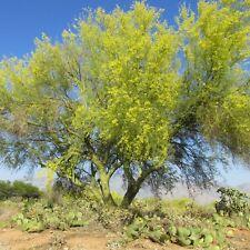 50 Seeds Blue Palo Verde Tree Parkinsonia florida Green Trunk Bark Yellow Flower