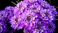 300 Samen Iberis Gibraltar Lila / Iberis Gibraltarica /mehrjährig Schleifenblume