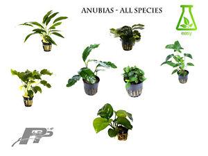 Anubias - Live Aquarium Plants - Very Easy - More than 30 species