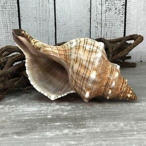 Fasciolaria Trapezium gross 15-17cm Top-Qualität echte Muschel Meeresschnecke