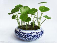 Money plant~copper coins 铜钱草~idea for bonsai