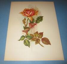 Old Vintage 1909 Antique - VICTORIAN PRINT - ROSE FLOWER