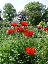 100+  GIGANTIC BRILLIANT  RED POPPY, Papaver orientale / TALL /  FLOWER SEEDS