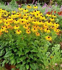 1000+BLACK EYED SUSAN American Native Wildflower Seed Heirloom Butterflies Bees