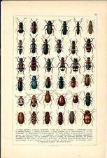 Stampa antica INSETTI COLEOTTERI COLEOPTERA 1893 Antique print insecta 25