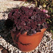 Sedum ussurience 'Turkish Delight' / Hardy Perennial / 50 pelleted seeds