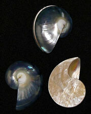 "Chambered Nautilus Pompilius Pr.~1-1/2"" Natural Blue Osmena Pearl-Jewelry/crafts"