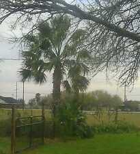 100 Mexican fan palm tree seeds ( Washingtonia robusta)
