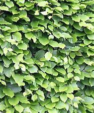 3 x Beech Trees  -  Hedge 30cm - Fagus sylvatica - Plant anytime