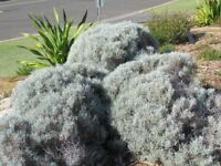 Cushion Bush (Leucophyta brownii)  100 Seeds