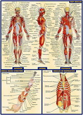 "03 Human Anatomy All System Deep Muscles Map 24""x33"" Poster"