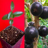 Grimal Jaboticaba Plinia sp. Peluda de Alagoas Grape Fruit Tree Seedling Plant