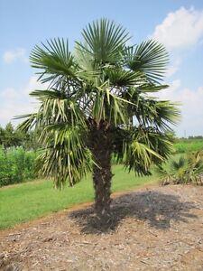 TRACHYCARPUS FORTUNEI - Palm Tree - 20 Fresh Seeds - UK HARDY