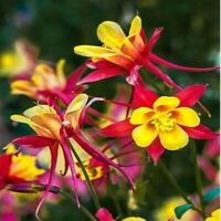 Columbine Genus Aquilegia 200 Seeds Rare Perennial Beautiful Flower Hardy Deer R