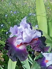 Tall Bearded Iris HONOURABLE LORD (bare rooted rhizome)