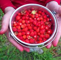 500 PCS Seeds Fruit Red Woodland Strawberry Bonsai Alpine Wild Garden Plants NEW