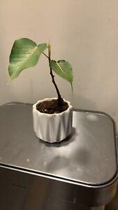 Ficus religiosa, Bodhi tree, pre-bonsai