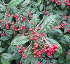 Cotoneaster rhytidophyllus - Rare Evergreen Shrub in 9cm Pot