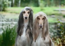 A1| Beautiful Afghan Hounds Poster Size 60 x 90cm Lovely Dog Poster Gift #15880