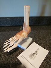 Life Size Foot Amp Ankle With Ligaments Xc 113a Skeleton Bones New