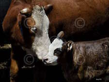 Barry Hart A Mother's Love Western Cow Calf Cattle Photograph Print Poster 18x24
