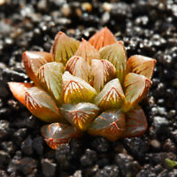 6cm Embers Succulent live Plant Haworthia Obtusa cooperi Baker Home Garden Rare