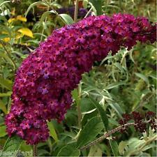 3 X Buddleia Royal Red Butterfly Bush Shrub Jumbo plug plant