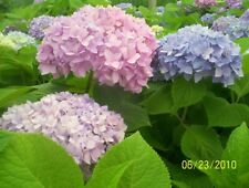 Hydrangea 'Bailmer Pink to Purple Live Flower Plant Bush Shipped Bare Root