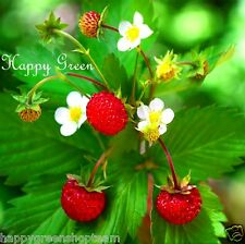 Alpine Strawberry -  550 SEEDS - Fragaria Vesca Baron Solemacher - PERENNIAL