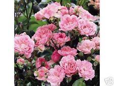 Rose The Fairy, zauberhaft Kleinstrauchrose, Bodendeckerrose mit kleinen Blüten