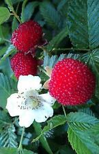 Erdbeerhimbeere,Japanische Himbeere,Rubus illecebrosus,Fruchtertrag im Jahr 2017