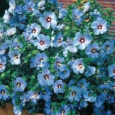 15+ Blue Rose of Sharon Hibiscus Flower Seeds / Perennial