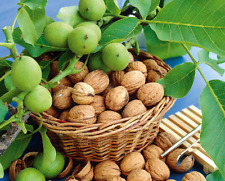 1Pcs Walnut Tree Seeds Plant Nutrient Nut Organic Walnut Bonsai Home Garden Tree