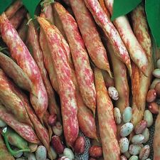 Borlotti french bean seeds. 75g (Est. 150 seeds) Sprakebeck's Seeds.