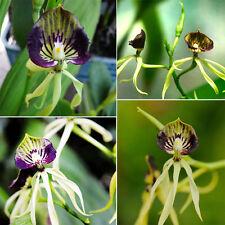 50Pcs Mixed Random Octopus Orchid Seeds China Rare Flower Seed Home&Garden Dreca