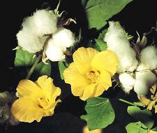 COTTON LEVANT Gossypium Herbaceum - 50 Bulk Seeds