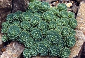 Rhodiola Pachyclados -Hardy Perennial Rockery Succulent Plant in 9cm Pot