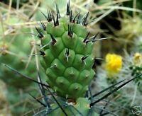 20 Echinofossulocactus erectocentrus SEMI SEEDS KORN SAMEN cactus RARE