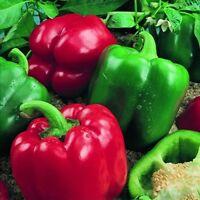 Pepper Sweet - Bell Boy - 10 Seeds