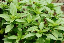 100 Samen Thai-Basilikum (Ocimum basilicum thyrsiflorum), Bai Horapa, Asia Küche