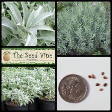20+ SACRED WHITE SAGE SEEDS (Salvia apiana) Herb Medicinal DIY Smudge Stick Tea
