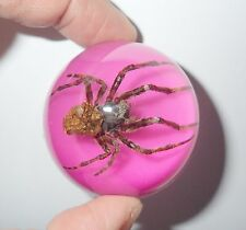 Ghost Spider Neoscona punctigera 47 mm Dome Paperweight On Pink Bottom