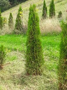 1 Emerald Green Arborvitae Tree 5' foot  transplant (local pickup only)
