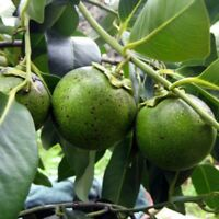 Diospyros Digyna BLACK SAPOTE Persimmon Chocolate Pudding Fruit *10 Seeds* Rare