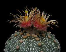 3x20 Korn *cv. SHIN SIYOWA* Astrophytum asterias Kakteen Kaktus Ariocarpus
