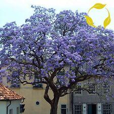 PRINCESS TREE Paulownia Tomentosa - 100+ SEEDS. Free S&H