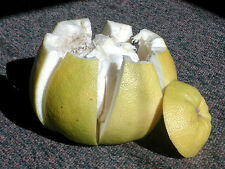 20 seed tree sweet thai Pomelo Citrus maxima grandis pommelo fruit